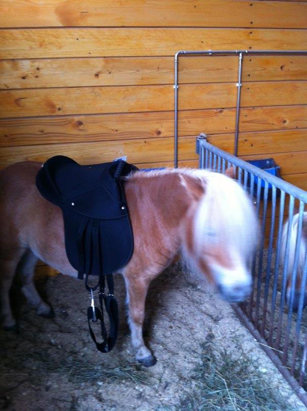 Minishetty steht im Pferdestall